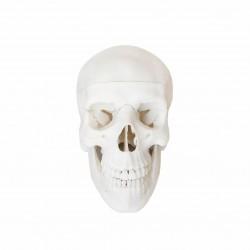 Model czaszki ludzkiej - sztuczna czaszka 3D